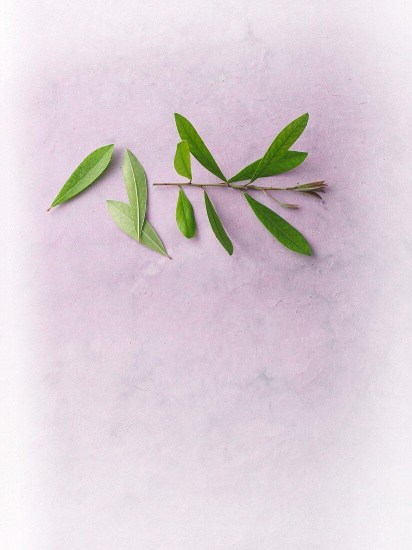 Fresh mate tea leaves