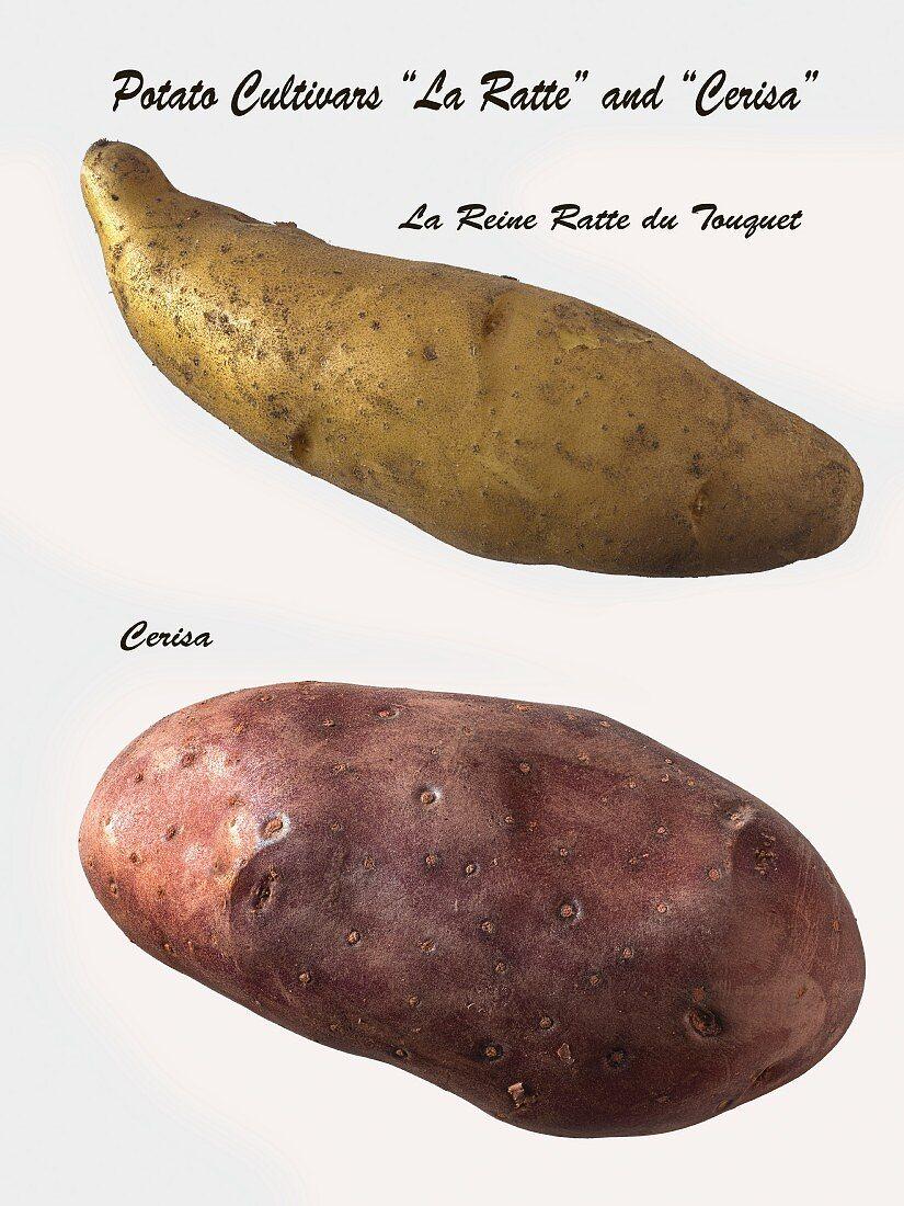A La Ratte potato and a Cerisa potato