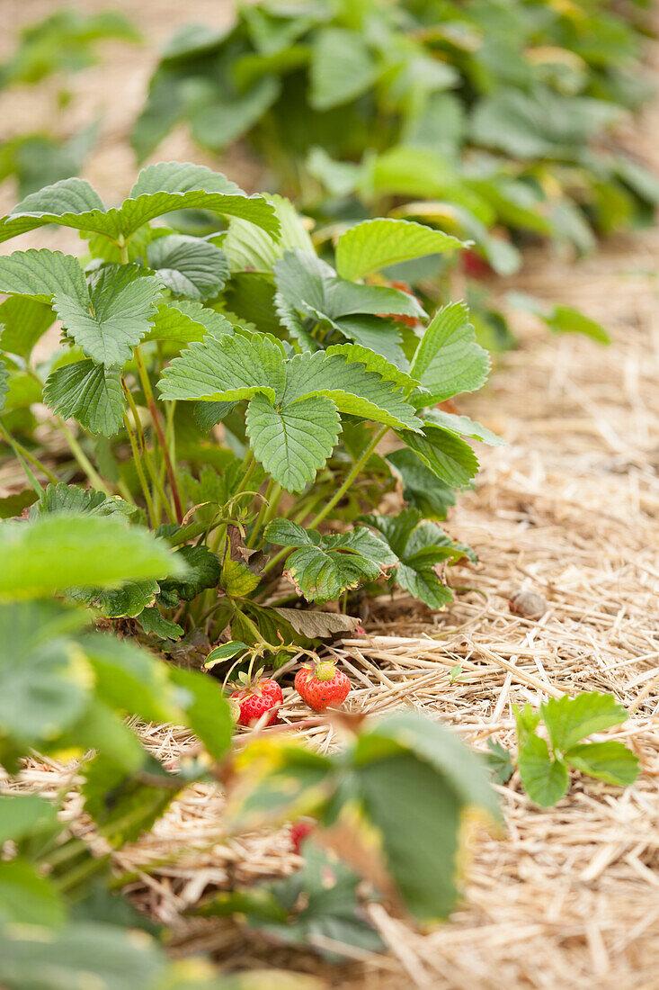 Strawberry plants in a strawberry field
