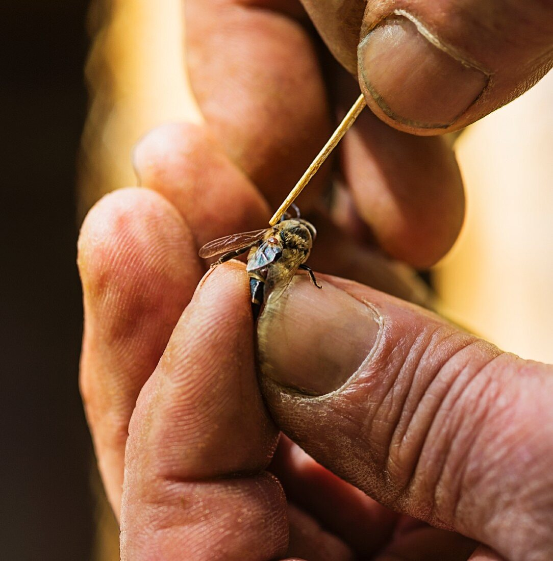 A beekeeper removing a mite (Varroa mites) from a honey bee