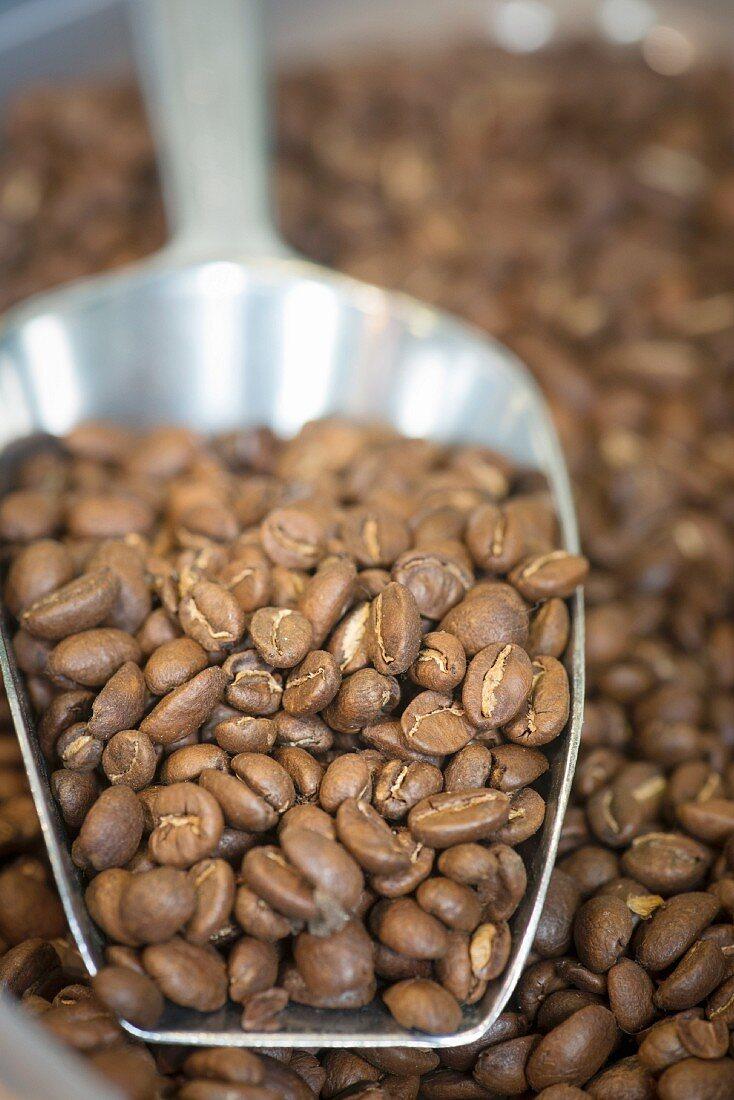 Roasted coffee beans on a metal scoop