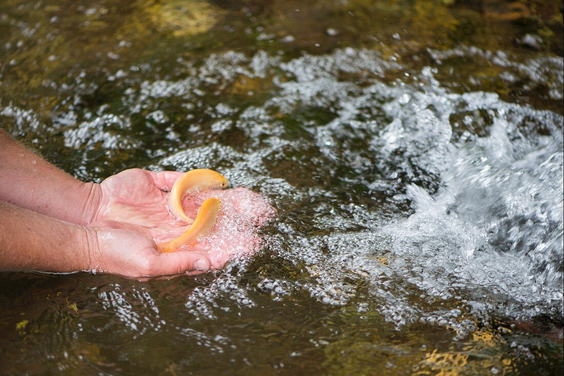 Young gold trout on a person's hand