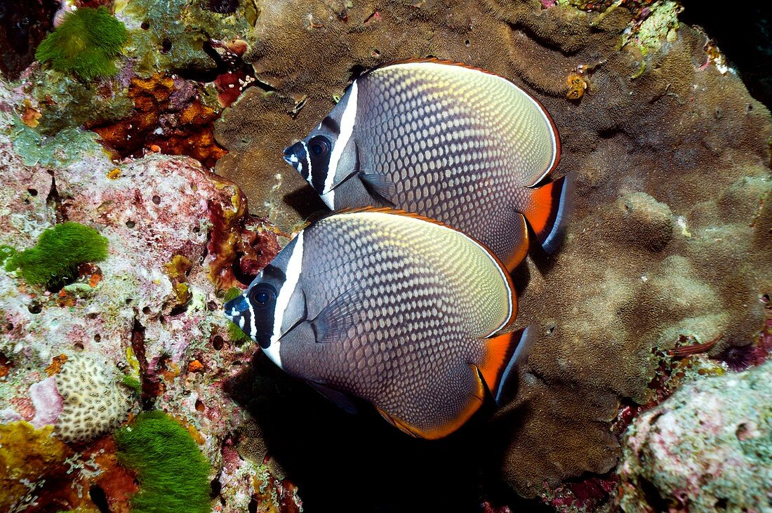 Redtail butterflyfish on a reef