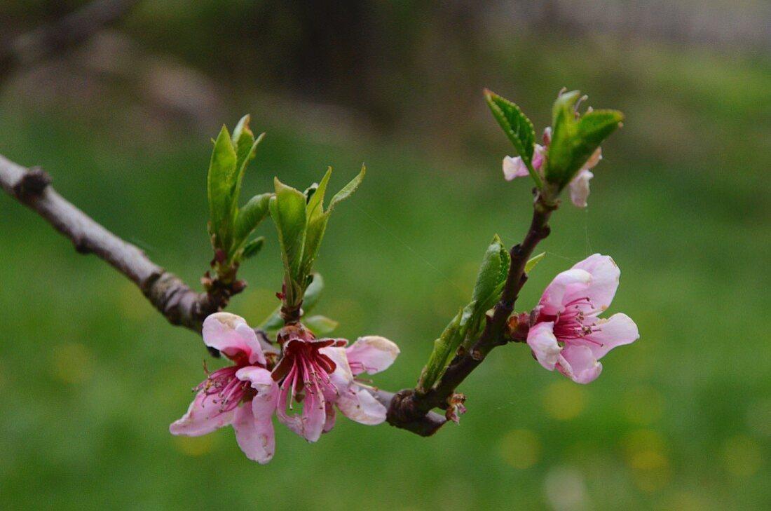 Sprig of almond blossom