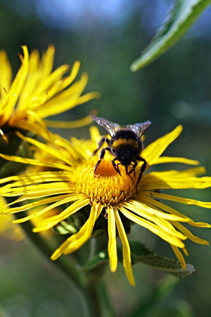 A bee on an arnica flower