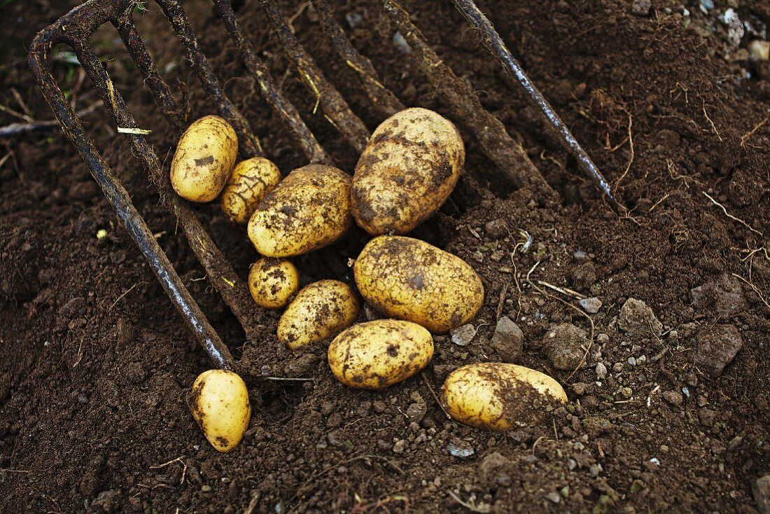 Ditta potatoes being harvested