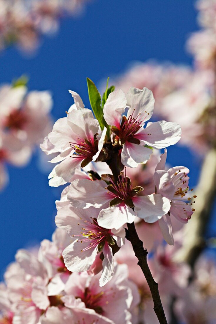 Peach blossom on a tree (close up)