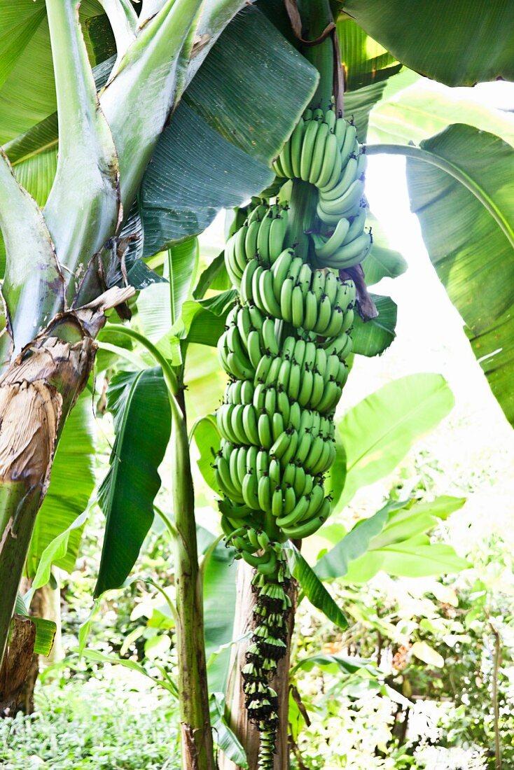 Bananen vor der Ernte