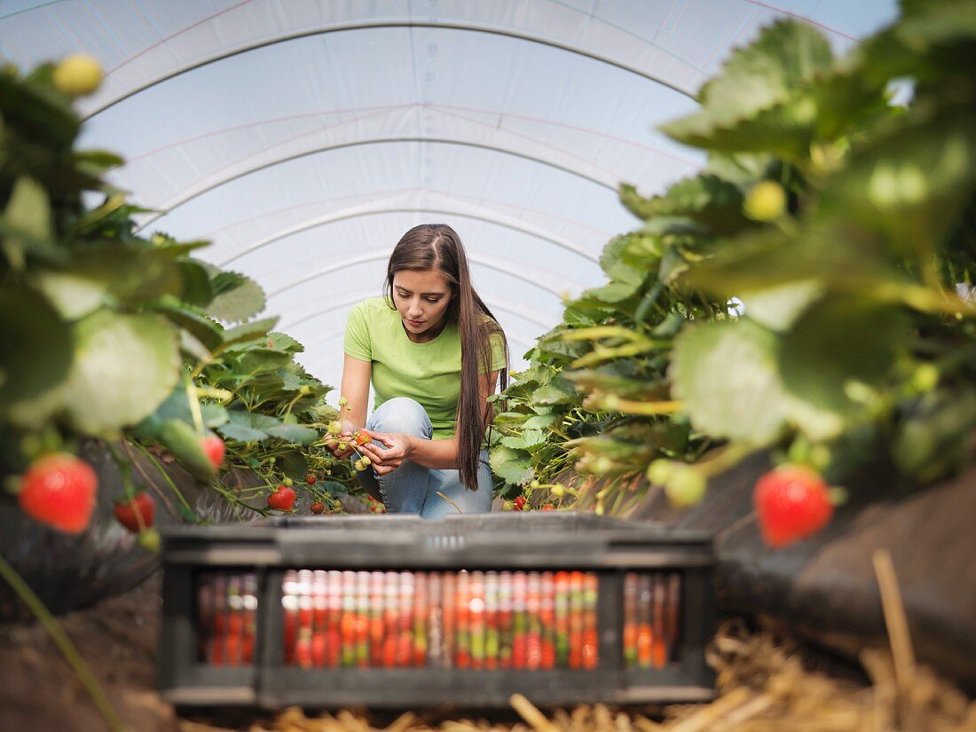 A woman filling crates with strawberries in a strawberry field