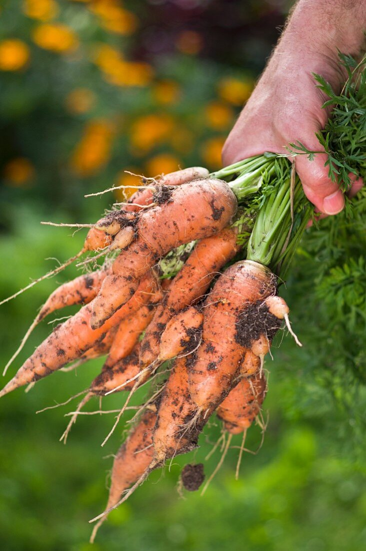 A man in a garden holding a bunch of freshly harvested carrots