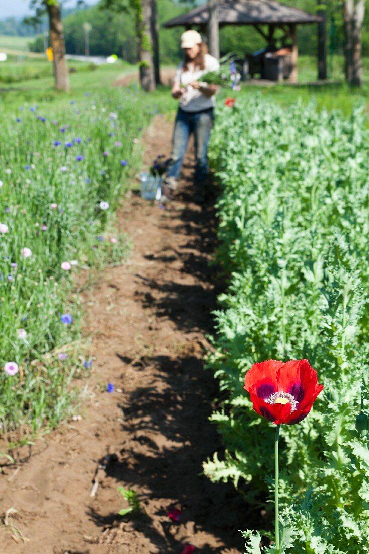 Farmer picking flowers
