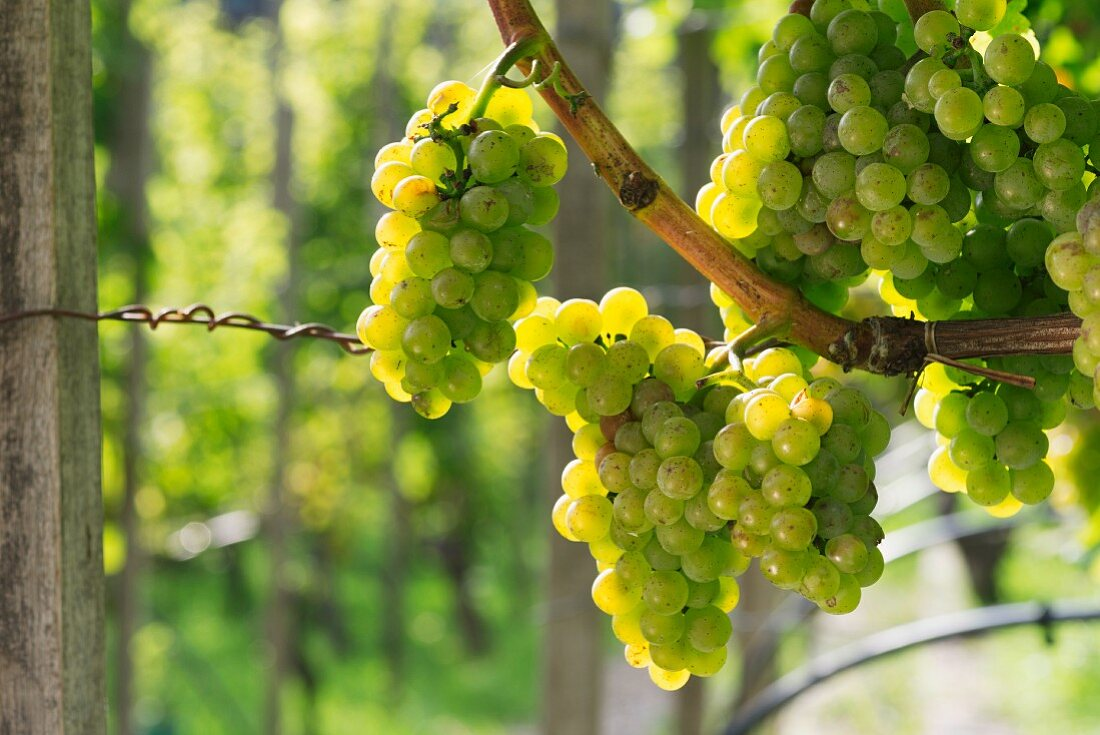 Riesling grapes in the sunshine