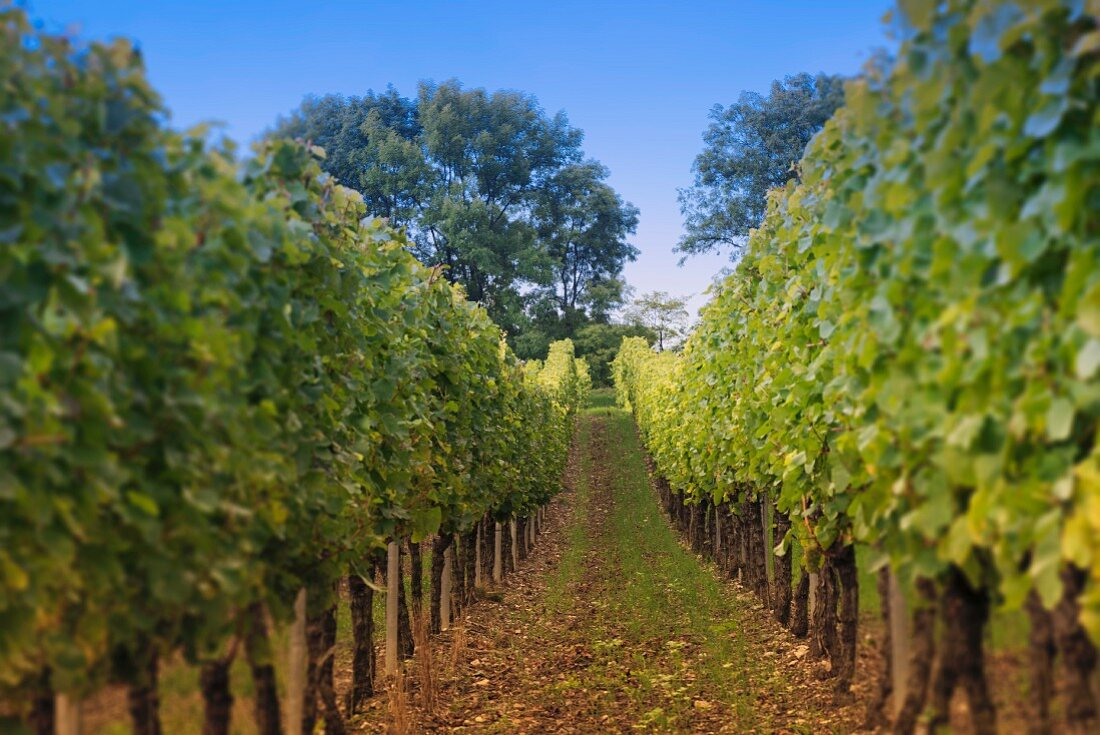 A view through rows of vines