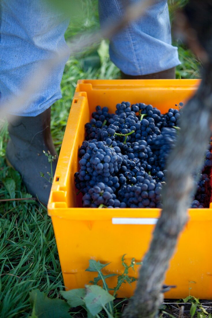 Freshly harvested pinot noir grapes in a yellow crate