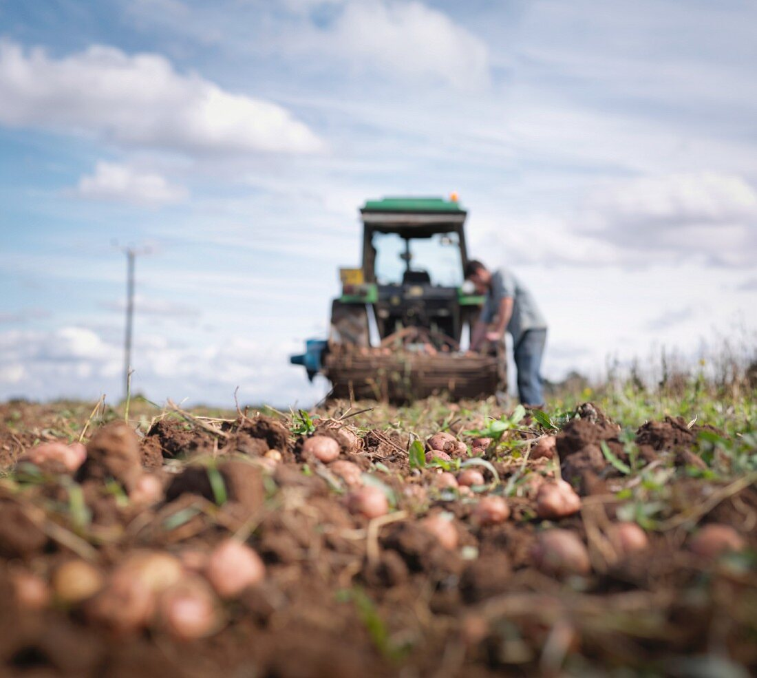 A farmer with a tractor harvesting potatoes in a field