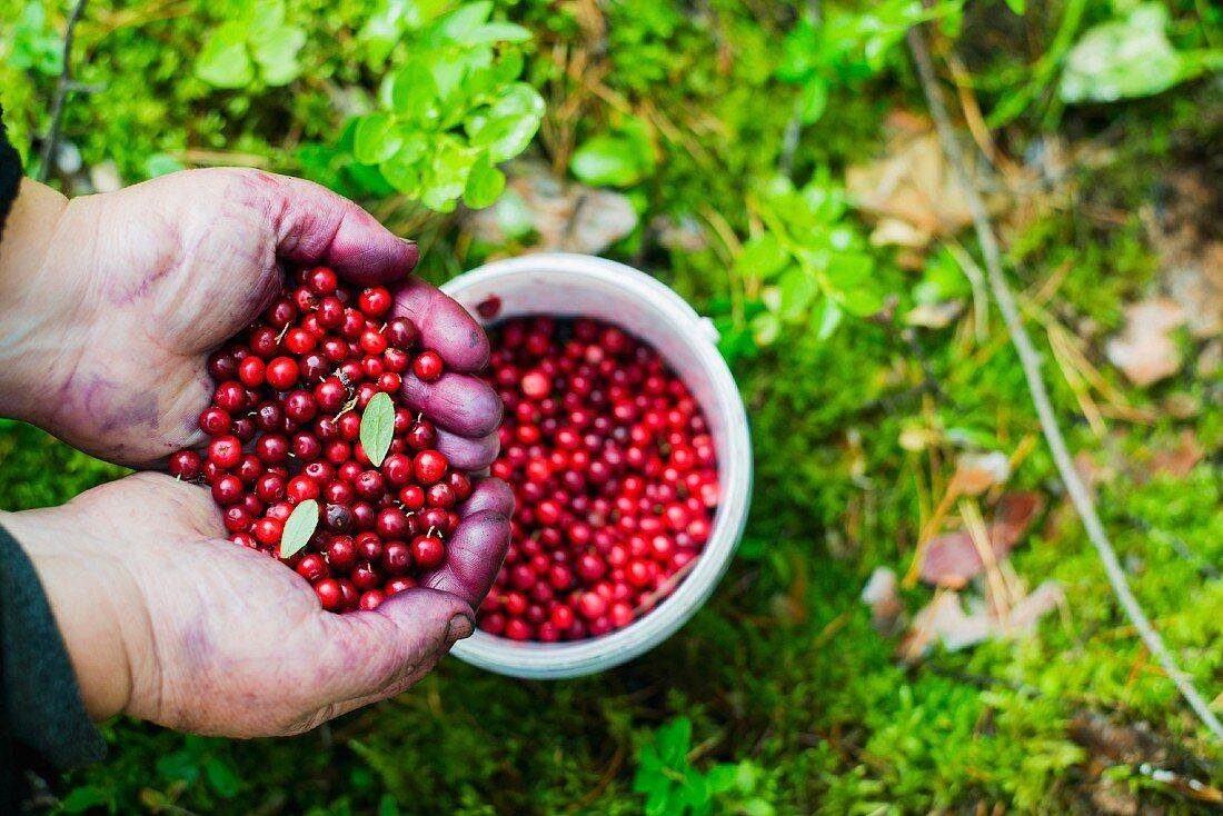Freshly picked cranberries