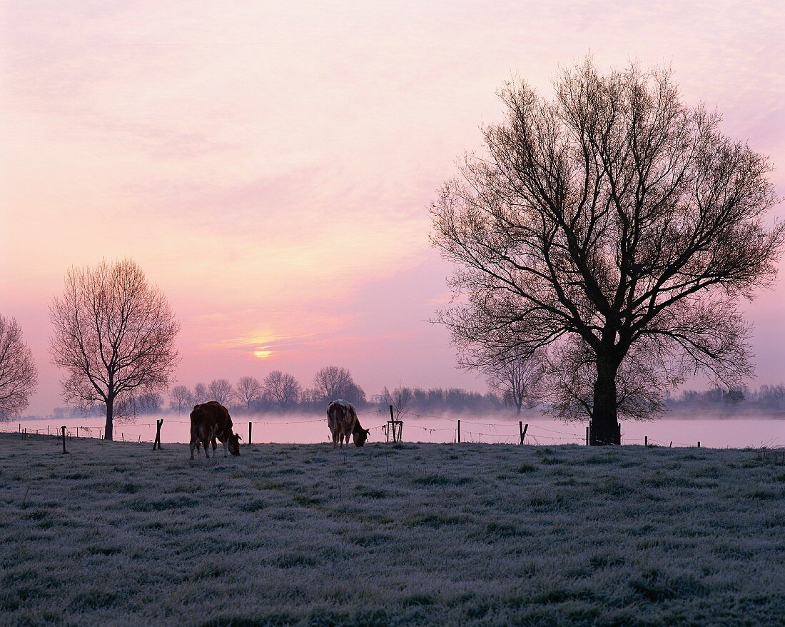 Cows grazing in a misty landscape by a river in Holland