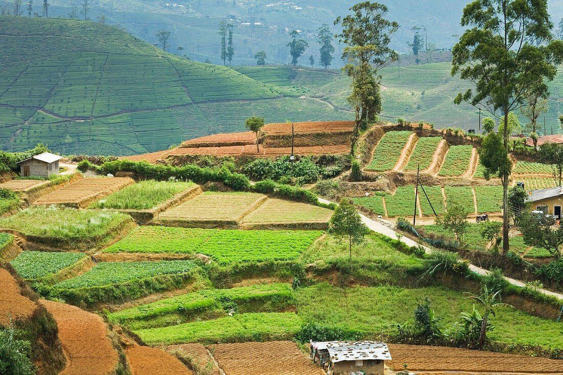 Vegetable cultivation in Hill Country, an important alternative to the usual tea cultivation, Nuwara Eliya, Sri Lanka