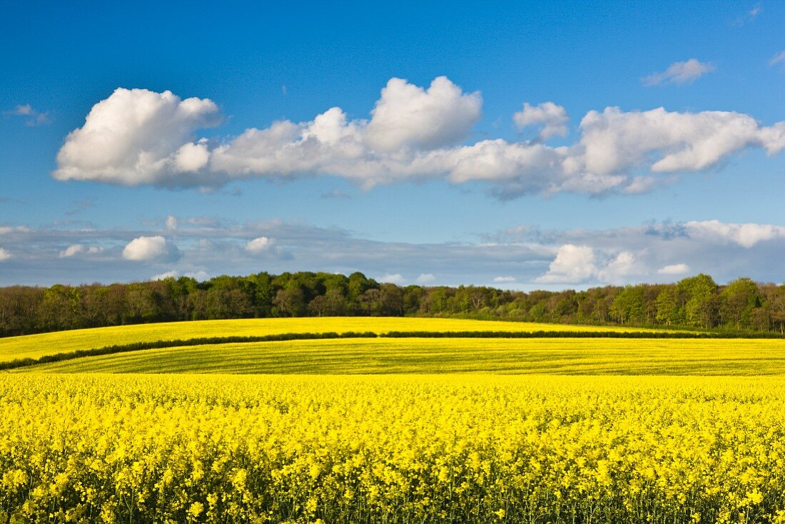 Fields of flowering oilseed rape in springtime, Yorkshire, England