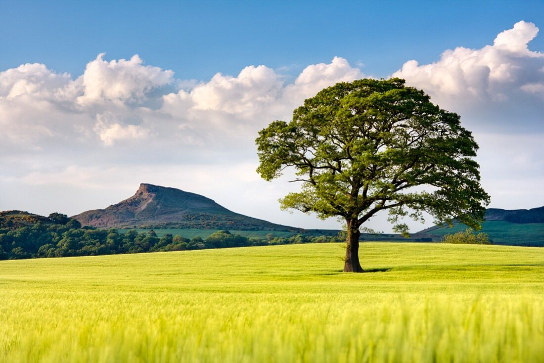 A wide landscape of barley fields with a lone tree and the Roseberry Topping in the background, North Yorkshire, Yorkshire, England