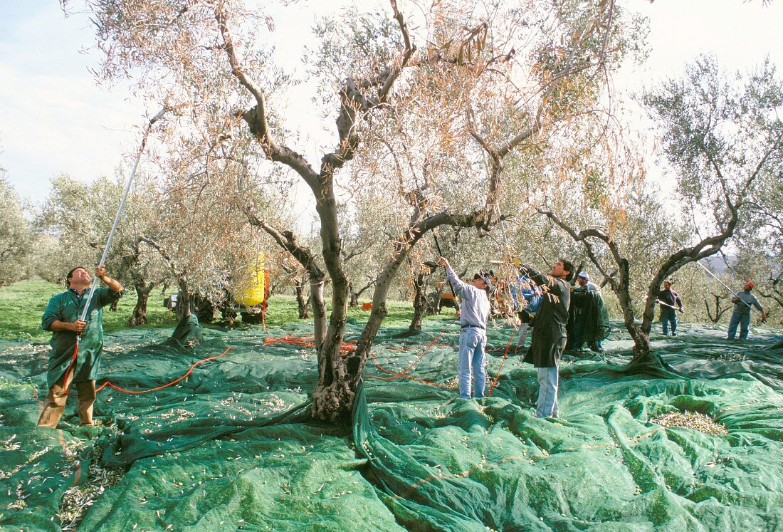 Olives being shaken from the trees in the olive groves of Marina Colonna, San Martino, Molise, Italy, Europe