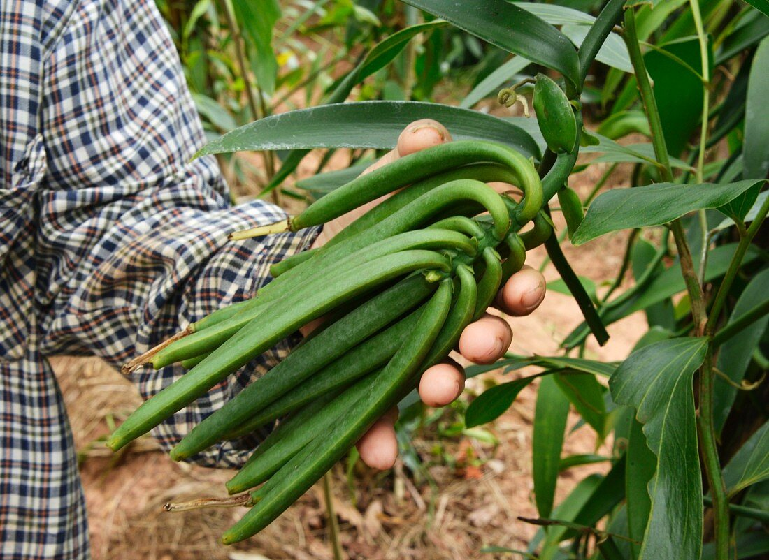 Vanilla plantation in Vietnam, Indochina, South-East Asia