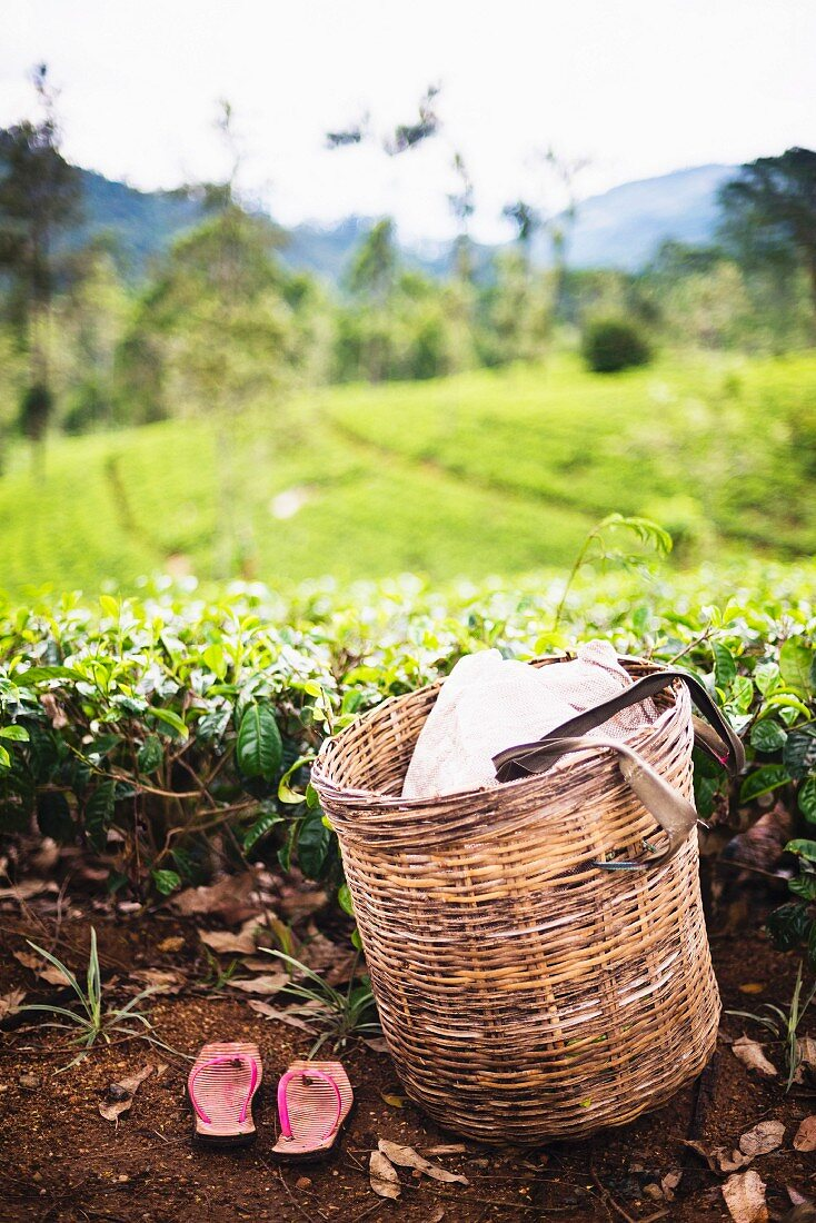 A tea pickers basket and shoes at a tea plantation, Central Highlands, Nuwara Eliya, Sri Lanka, Asia