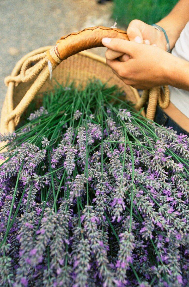 Lavender harvest; Vashon Island, Washington state, United States of America