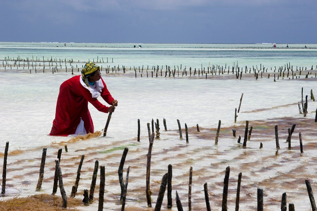 A woman harvesting seaweed at a plantation in Paje, East Africa