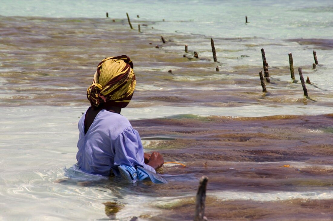 A woman wearing a blue dress and a yellow headscarf sitting in the water harvesting seaweed, Paje, East Africa