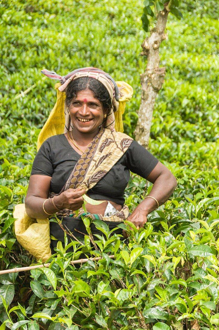A tea picker in the hill plantations around Kandy, Sri Lanka, Asia