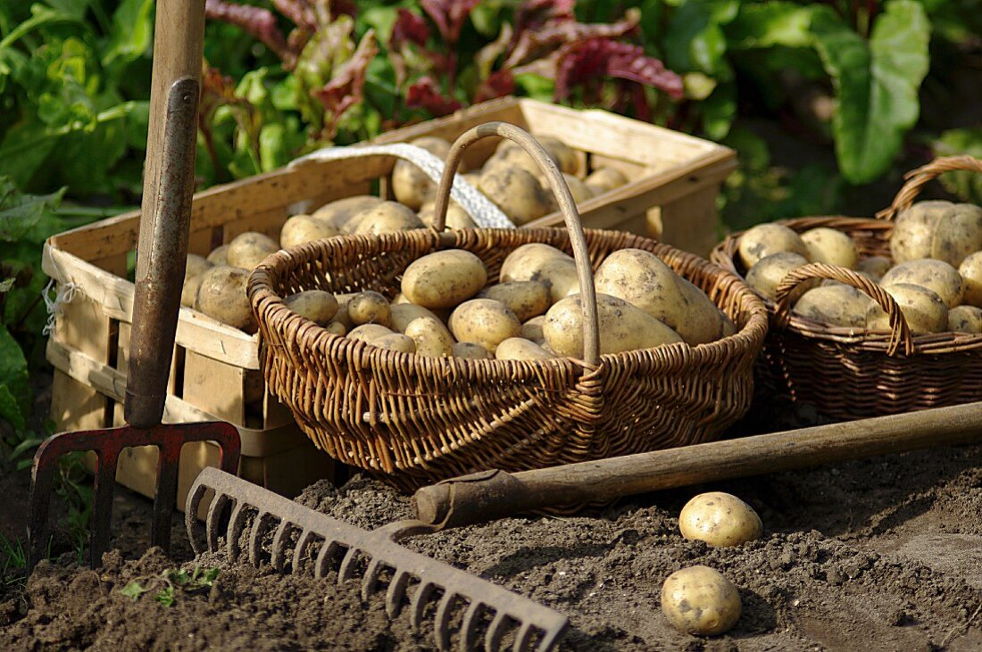 Freshly harvested potatoes in baskets in a garden with rake and a gardening fork