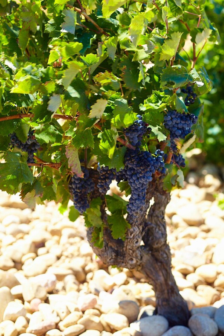 A vine in the Beaucastel vineyard in the Appellation Chateauneuf-du-Pape, France