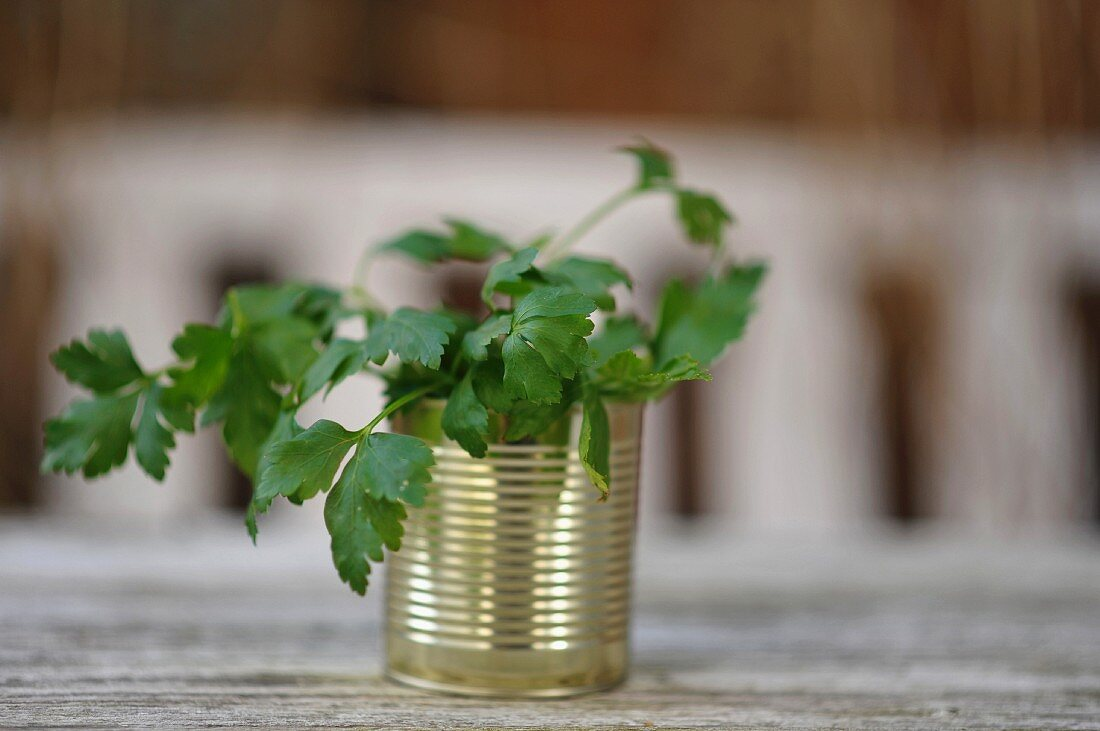 Fresh parsley in a tin can