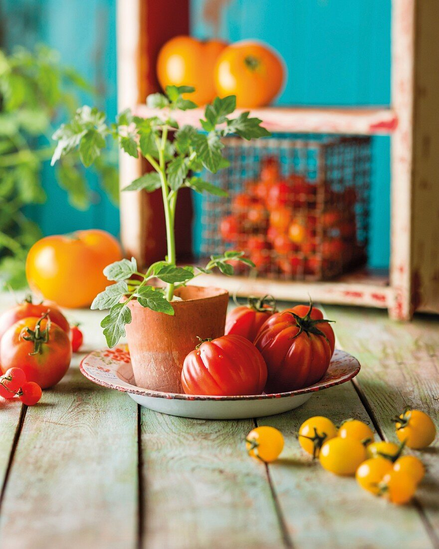 An arrangement of tomatoes featuring a small tomato plant