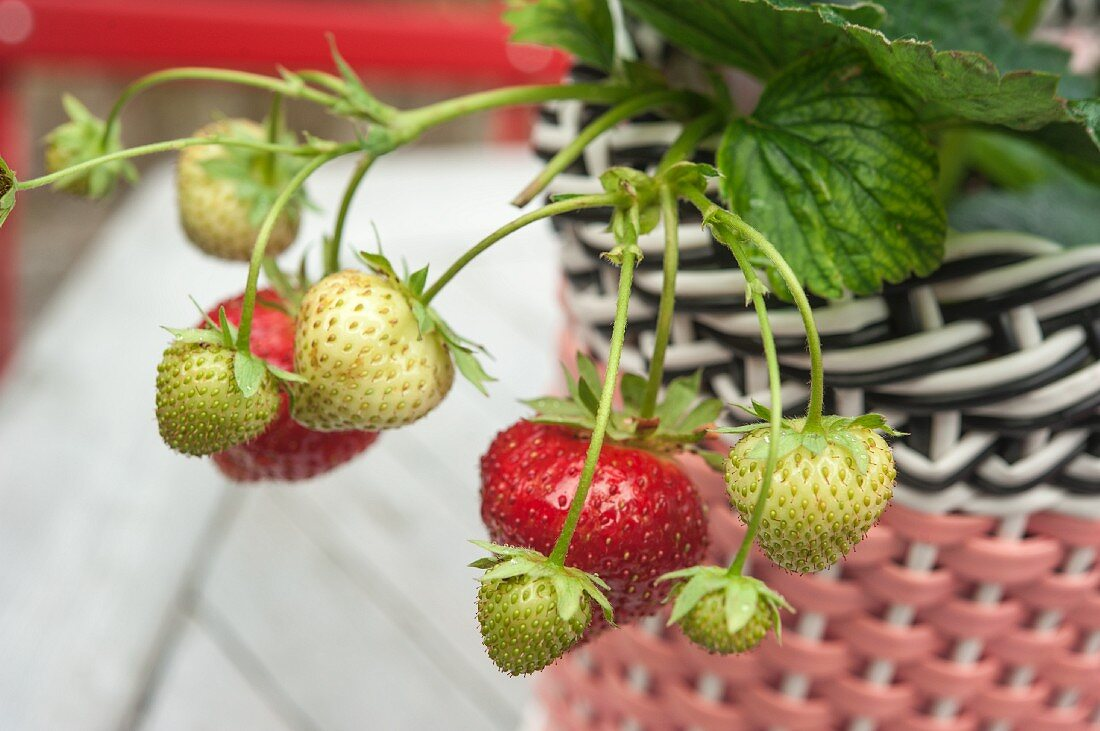 Ripe and unripe fruit on a strawberry plant in a plastic woven planter