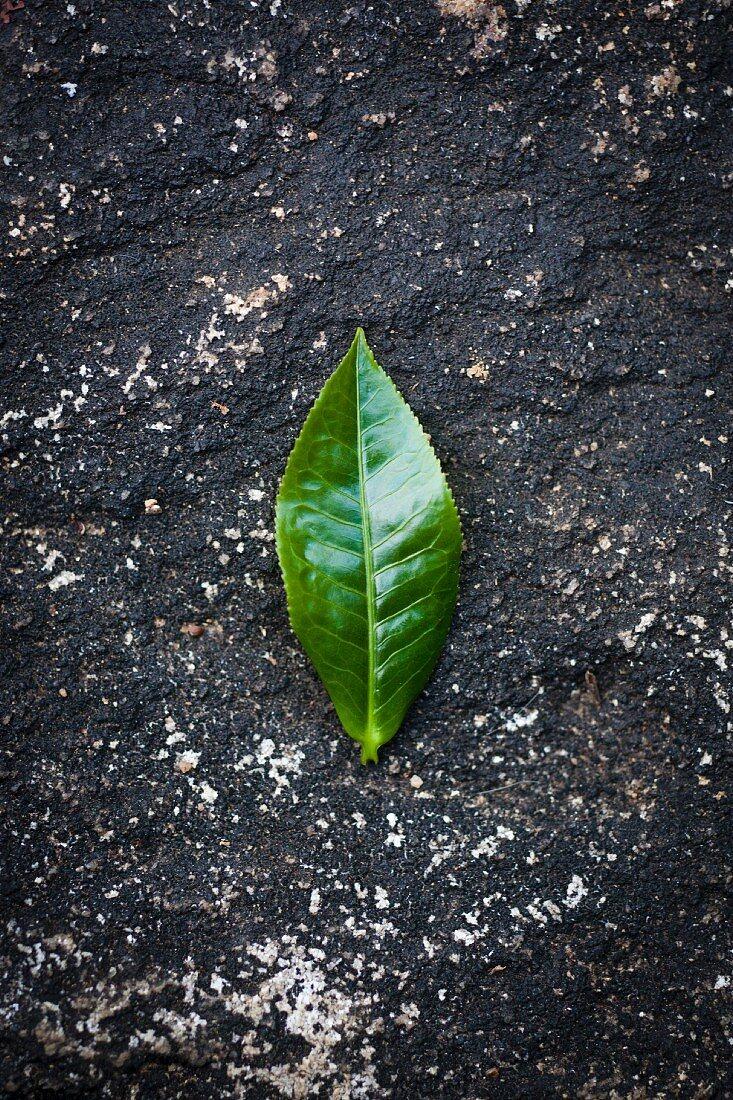 A tea leaf (Munnar, Southern India)