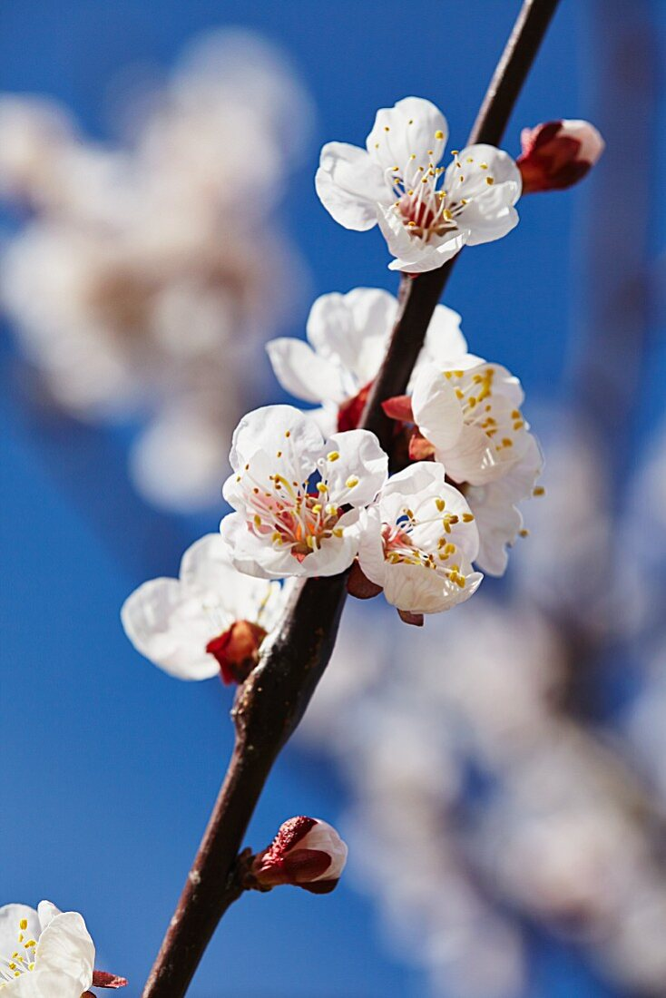 Apricot blossom in Wachau, Austria
