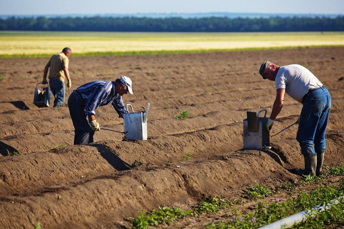 Harvesting an asparagus field