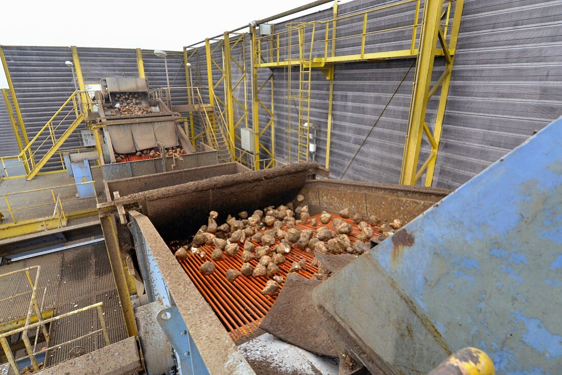 A conveyor belt with sugar beets at a sugar mill