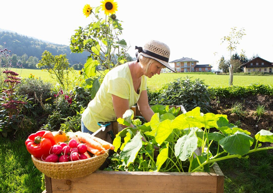A woman harvesting vegetables in a raised bed