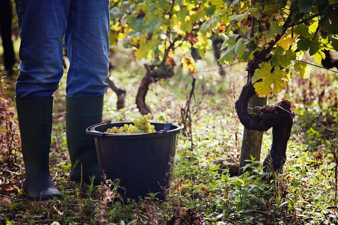 A man harvesting grapes