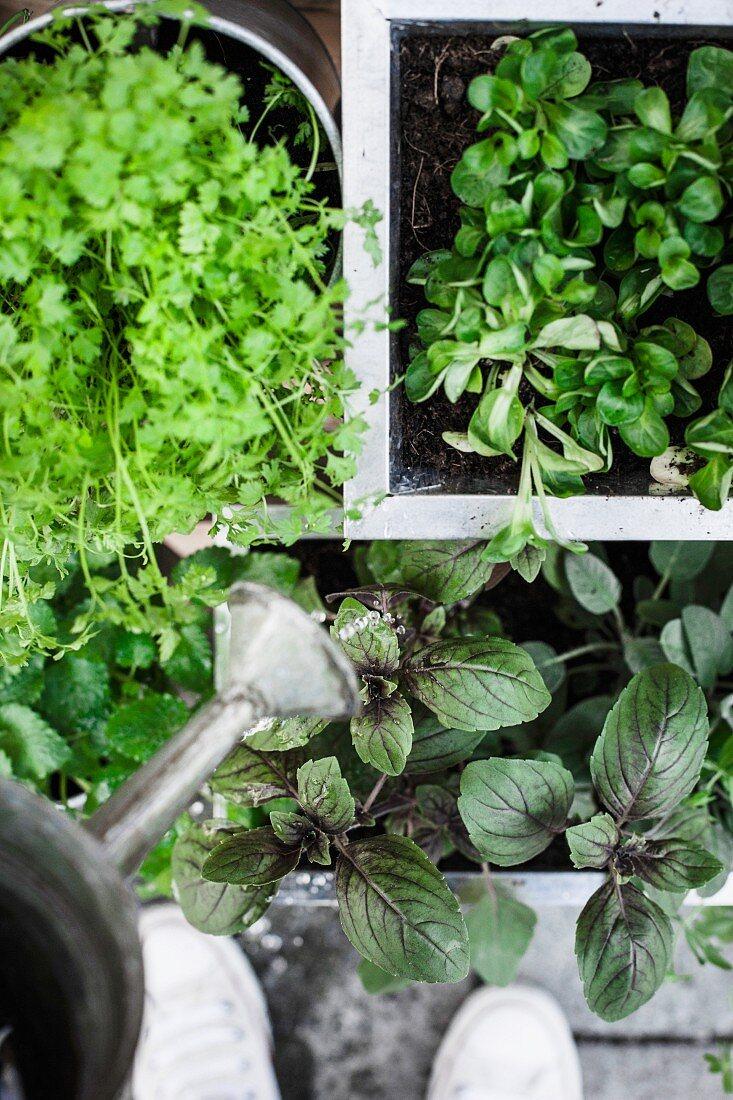 Watering herbs (top view)