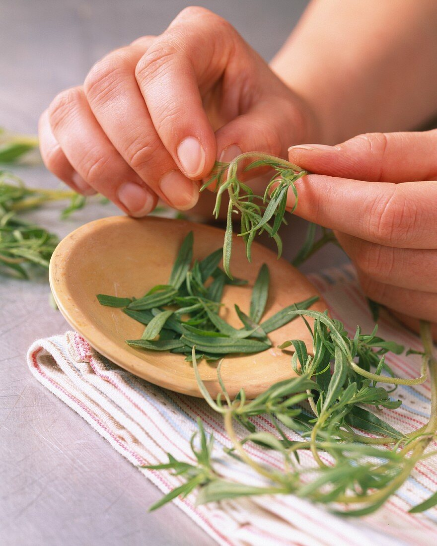 Savory leaves being removed from stems