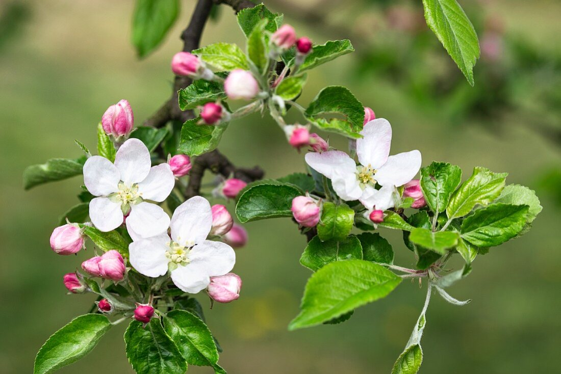 Apple blossom on a branch (close up)