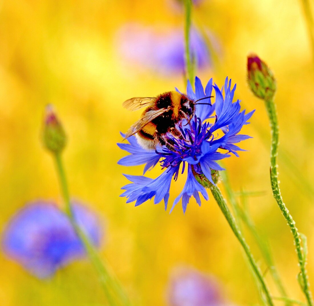 A bumblebee on cornflour (close-up)