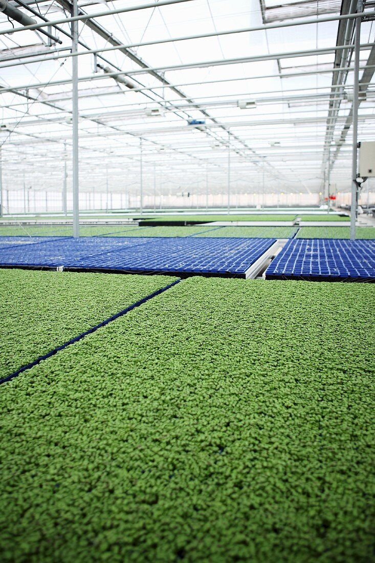 Cress growing in a greenhouse