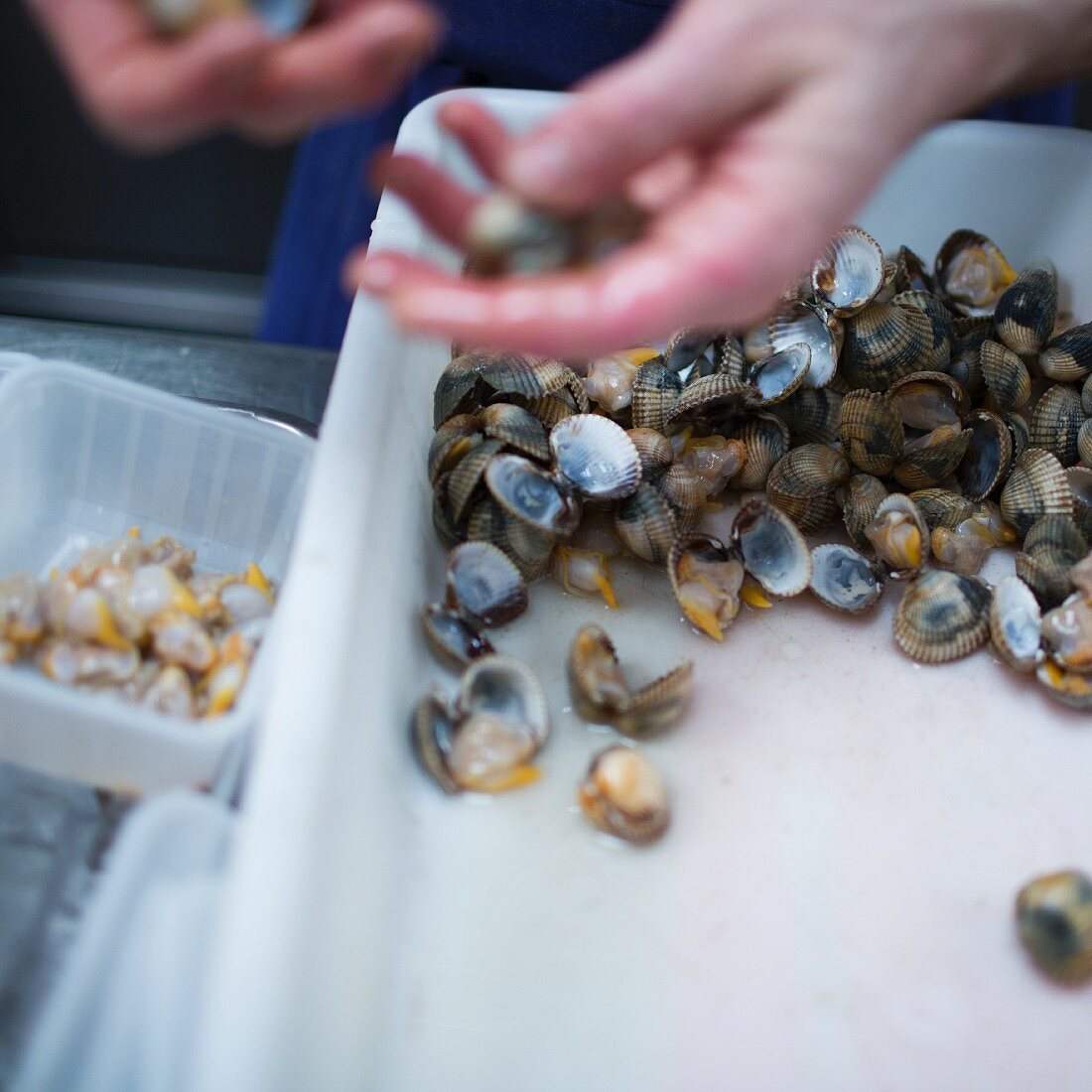 Clams being cleaned, restaurant 'Septime', Paris
