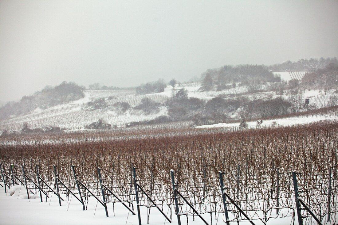 Vineyards in the winter snow (Austria)