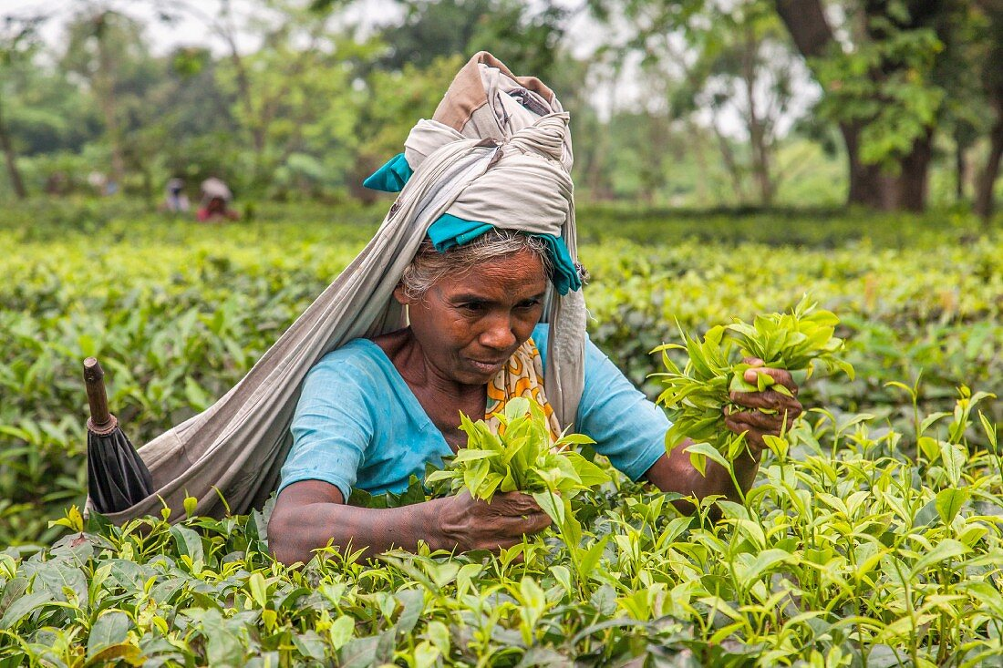 An Indian woman dressed in traditional clothing harvesting tea in the plantations of Bagdogra, Darjeeling, India